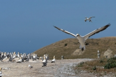 cape_kidnappers_09