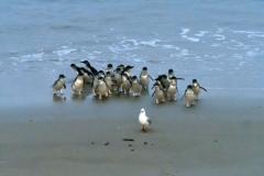 blaue_pinguine_02