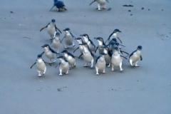 blaue_pinguine_03